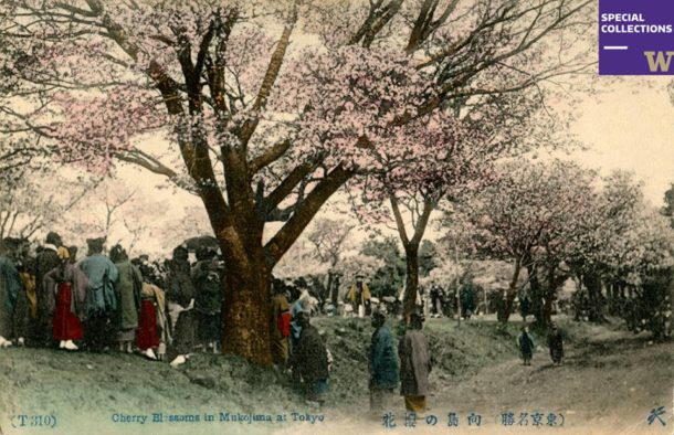 Cherry blossoms at Mukojima, Tokyo [Postcard Collection, PH Coll 8]